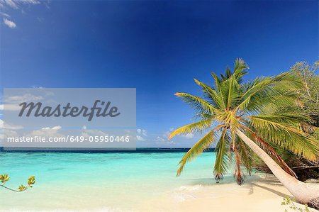 Palm trees growing on tropical beach Stock Photo - Premium Royalty-Free, Image code: 649-05950446