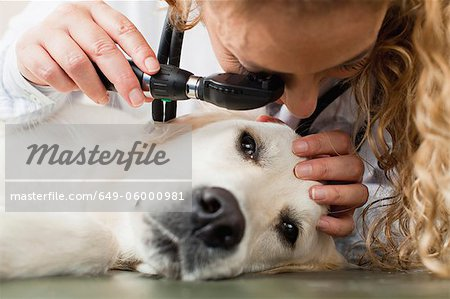 Veterinarian examining dog in office Stock Photo - Premium Royalty-Free, Image code: 649-06000981