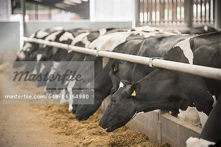 Cows eating hay in barn Stock Photo - Premium Royalty-Free, Image code: 649-06164980