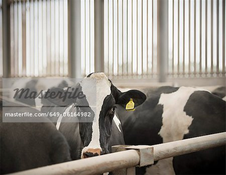 Cows standing in pen in barn Stock Photo - Premium Royalty-Free, Image code: 649-06164982