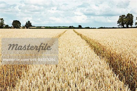 Paths carved in field of tall wheat Stock Photo - Premium Royalty-Free, Image code: 649-06353286