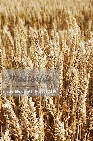 Close up of tall wheat stalks Stock Photo - Premium Royalty-Free, Image code: 649-06353287