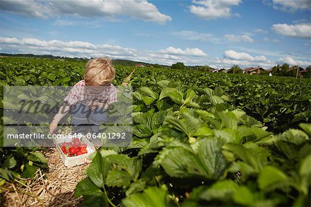Boy picking strawberries in field Stock Photo - Premium Royalty-Free, Image code: 649-06401292