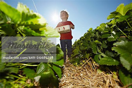 Boy picking strawberries in field Stock Photo - Premium Royalty-Free, Image code: 649-06401299