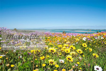 Field of flowers in rural landscape Stock Photo - Premium Royalty-Free, Image code: 649-06432635