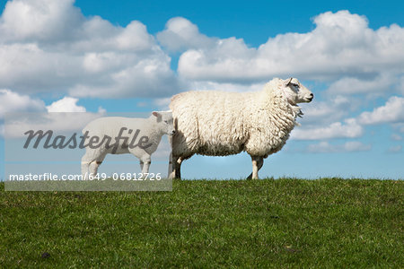 Two sheep in field Stock Photo - Premium Royalty-Free, Image code: 649-06812726