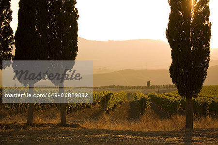 Grapevines and cypress trees, Tuscany, Italy Stock Photo - Premium Royalty-Free, Image code: 649-06829892