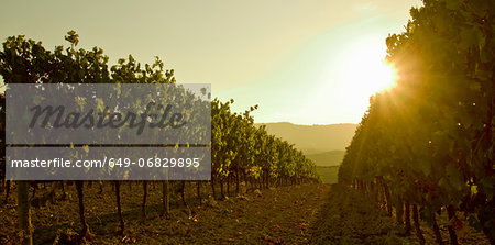 Close up of grapevines at sunset, Tuscany, Italy Stock Photo - Premium Royalty-Free, Image code: 649-06829895