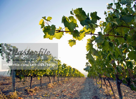 Close up of vine leaves and grapevines, Tuscany, Italy Stock Photo - Premium Royalty-Free, Image code: 649-06829896