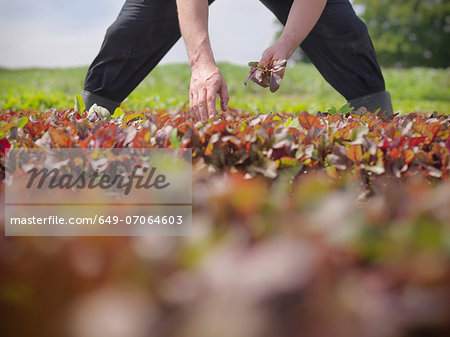 Worker picking salad crop Stock Photo - Premium Royalty-Free, Image code: 649-07064603