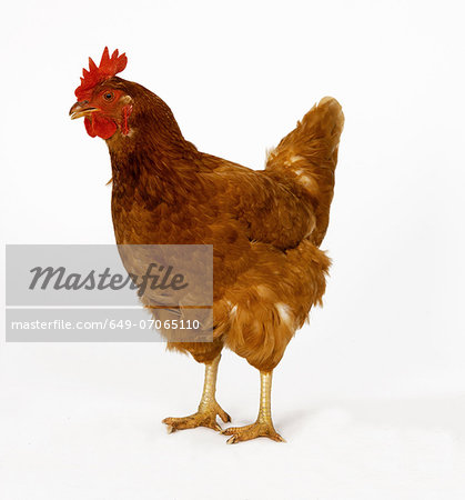 Hen Stock Photo - Premium Royalty-Free, Image code: 649-07065110