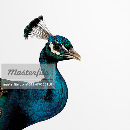 Peacock Stock Photo - Premium Royalty-Free, Image code: 649-07065118
