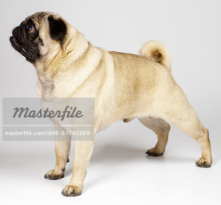 Pug standing to attention Stock Photo - Premium Royalty-Free, Image code: 649-07065209