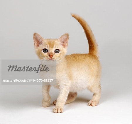 Yellow kitten Stock Photo - Premium Royalty-Free, Image code: 649-07065237