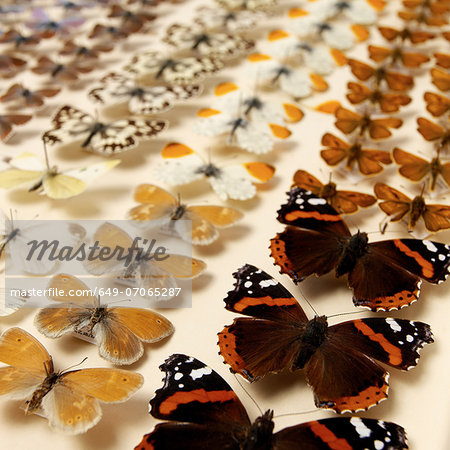 Collection of butterflies Stock Photo - Premium Royalty-Free, Image code: 649-07065287