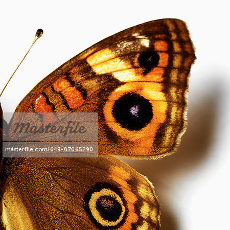 Eye-like markings on butterfly Stock Photo - Premium Royalty-Free, Image code: 649-07065290