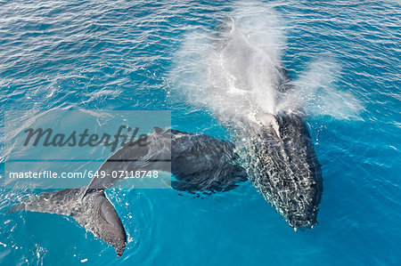 Adult humpback whale and calf blowing, Hervey Bay, Queensland, Australia Stock Photo - Premium Royalty-Free, Image code: 649-07118748