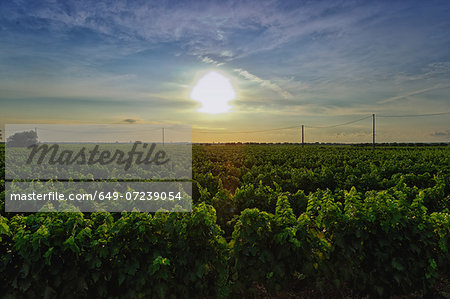 Vineyard, Veglie, Lecce, Puglia, Italy Stock Photo - Premium Royalty-Free, Image code: 649-07239054