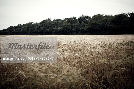 Wheat field in breeze Stock Photo - Premium Royalty-Free, Image code: 649-07239170