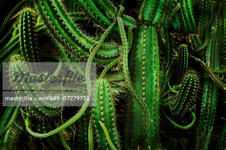 Cacti, close up Stock Photo - Premium Royalty-Free, Image code: 649-07279731