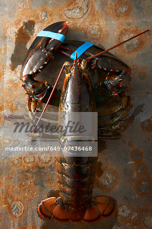 Lobster with claws taped Stock Photo - Premium Royalty-Free, Image code: 649-07436468
