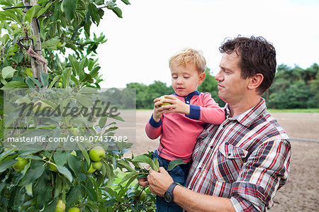 Farmer and son picking apples from tree in orchard Stock Photo - Premium Royalty-Free, Image code: 649-07437982