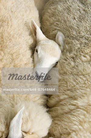 Overhead view of lambs head between two sheep Stock Photo - Premium Royalty-Free, Image code: 649-07648464