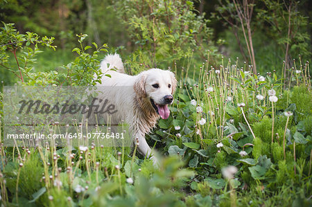 Golden retriever walking alone in long grass Stock Photo - Premium Royalty-Free, Image code: 649-07736481