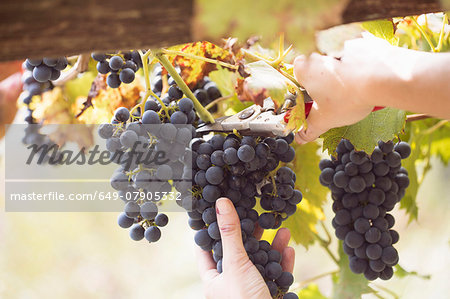 Close up of young womans hands cutting grapes from vine, Premosello, Verbania, Piemonte, Italy Stock Photo - Premium Royalty-Free, Image code: 649-07905332