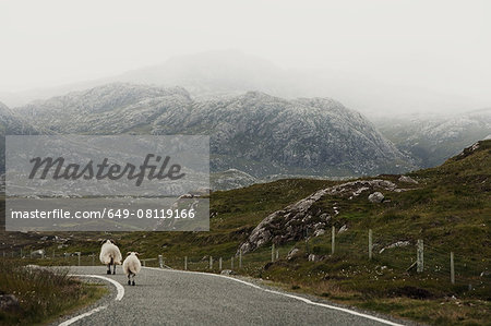 Sheep on road, Isle of Lewis, West Coast, Scotland Stock Photo - Premium Royalty-Free, Image code: 649-08119166