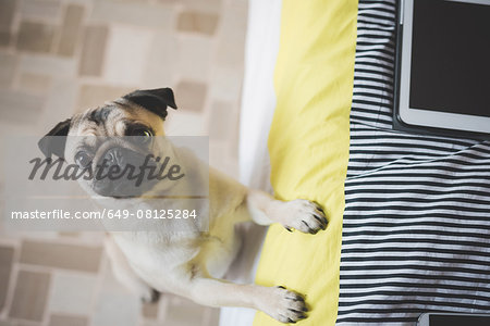 Dog standing on hind legs against bed Stock Photo - Premium Royalty-Free, Image code: 649-08125284