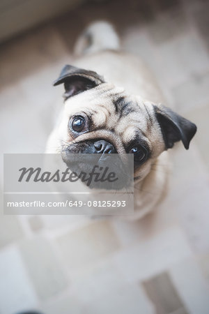 Dog looking up at camera Stock Photo - Premium Royalty-Free, Image code: 649-08125293