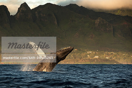 Humpback whale jumping out of water, Kauai island, Hawaii islands, USA Stock Photo - Premium Royalty-Free, Image code: 649-08145263