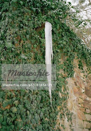 Icicle hanging off ivy vine Stock Photo - Premium Royalty-Free, Image code: 653-01654179