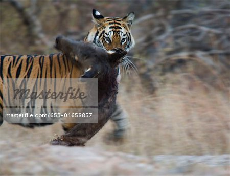 Tiger biting prey Stock Photo - Premium Royalty-Free, Image code: 653-01658857