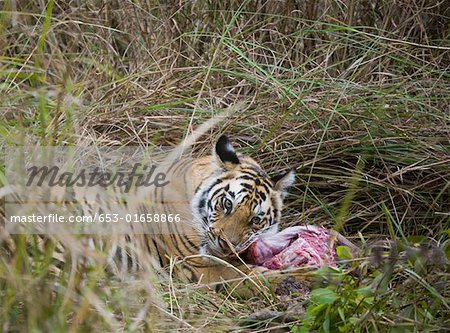 Tiger lying down in grass feeding on kill Stock Photo - Premium Royalty-Free, Image code: 653-01658866