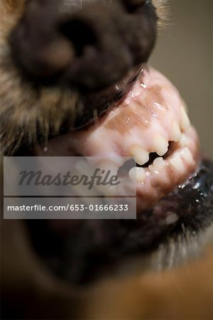 Close-up of a dog snarling Stock Photo - Premium Royalty-Free, Image code: 653-01666233