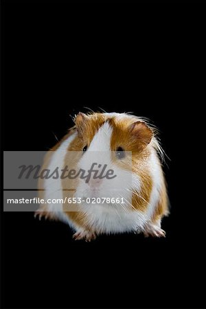 A Guinea Pig Stock Photo - Premium Royalty-Free, Image code: 653-02078661