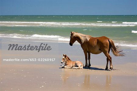 A wild Banker Pony mare and her foal,Outer Banks,North Carolina Stock Photo - Premium Royalty-Free, Image code: 653-02260917