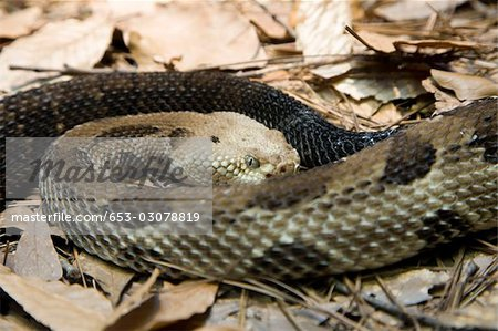 A rattlesnake Stock Photo - Premium Royalty-Free, Image code: 653-03078819