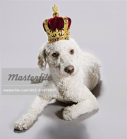 A Portuguese Waterdog wearing a crown Stock Photo - Premium Royalty-Free, Image code: 653-03459897
