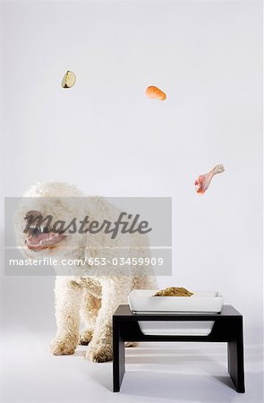 Food floating above a Portuguese Waterdog Stock Photo - Premium Royalty-Free, Image code: 653-03459909