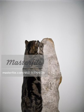 A cat jumping up a piece of wood Stock Photo - Premium Royalty-Free, Image code: 653-03706116