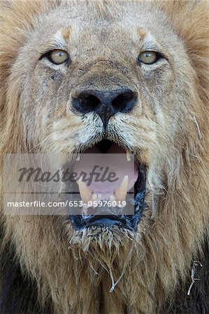 Close-up, male lion panting, looking at camera Stock Photo - Premium Royalty-Free, Image code: 653-05976019