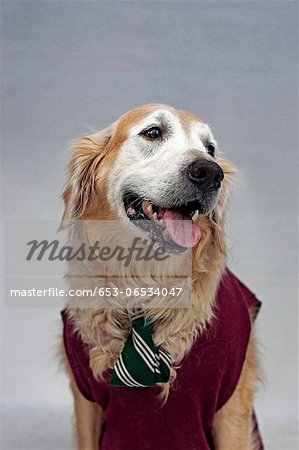 A golden retriever wearing a tie and sweater vest Stock Photo - Premium Royalty-Free, Image code: 653-06534047