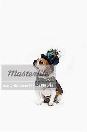 A Peagle wearing a top hat and period costume Stock Photo - Premium Royalty-Free, Image code: 653-06534048