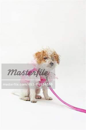 A mixed breed dog wearing a pink fairy costume Stock Photo - Premium Royalty-Free, Image code: 653-06534049