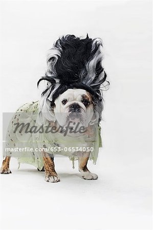 An English Bulldog in costume as the bride of Frankenstein Stock Photo - Premium Royalty-Free, Image code: 653-06534050