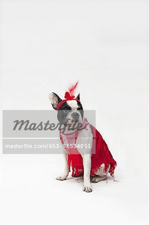 A French Bulldog wearing a red flapper costume Stock Photo - Premium Royalty-Free, Image code: 653-06534051