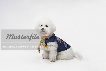 A Bichon Frise wearing a Boy Scout costume Stock Photo - Premium Royalty-Free, Image code: 653-06534053